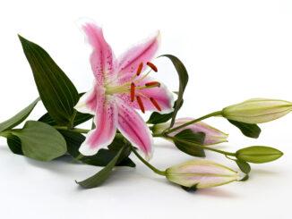 fresh-cut-flowers-nature-white-flower-petal-bloom-close-lily-floristry-peruvian-lily-flower-arranging-alstroemeriaceae